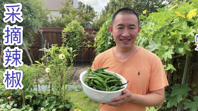 【范哥的美国生活】菜园的辣椒丰收啦!来看看长得怎么样?