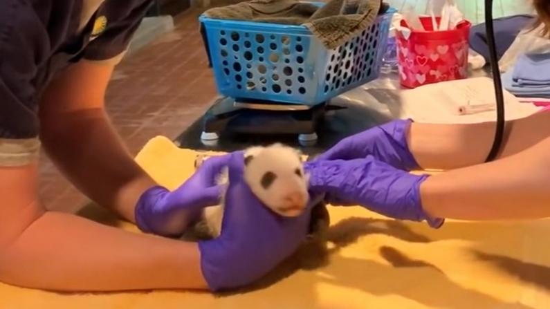 腿脚健壮又踢又蹬 国家动物园大熊猫宝宝首露面 性别仍未知