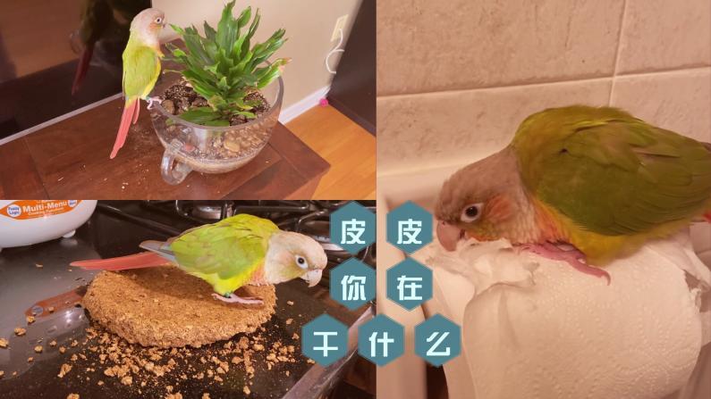 【珊珊和皮皮】放养小鹦鹉成天都在干嘛?