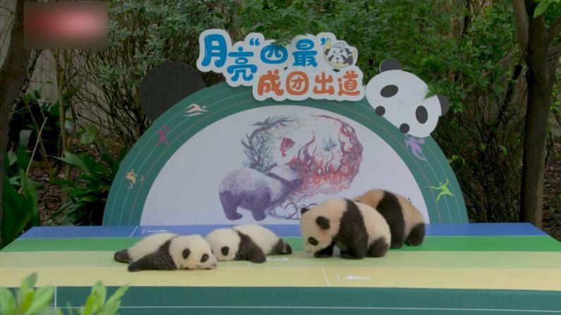 萌翻了!成都7只大熊猫宝宝集体亮相