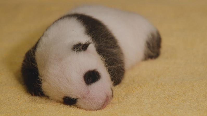 诞生6周后 华盛顿国家动物园大熊猫宝宝性别揭晓!