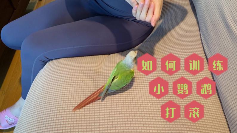 【珊珊和皮皮】给大家乐一乐 看我如何训练小鹦鹉打滚!