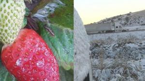 加州强降温 农作物遭殃 餐馆雪上加霜