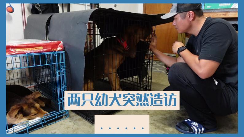 【林小Jim】家里来了两只性格截然不同的幼犬 我要如何训练?