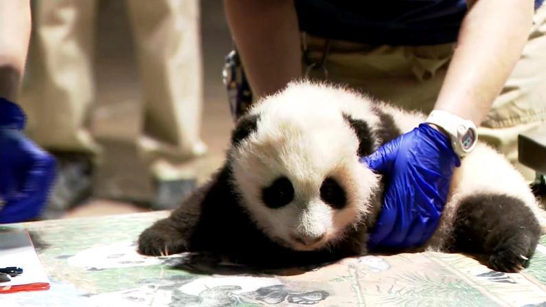 华盛顿大熊猫宝宝最新体检视频公开 四个名字备选你投哪个?