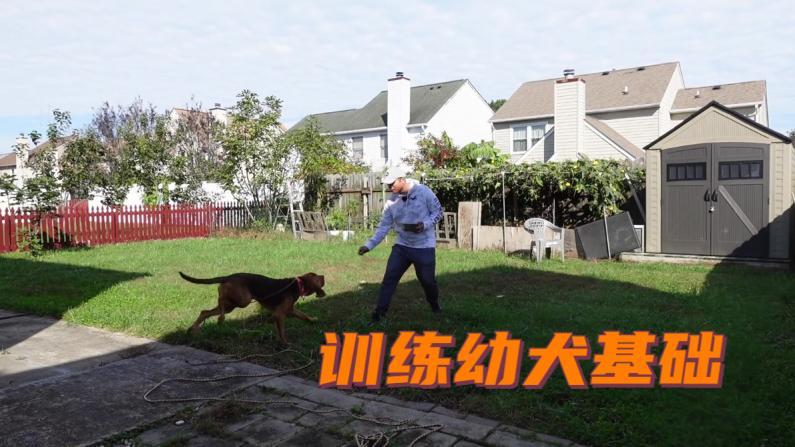【林小Jim】训犬师干货!训练幼犬从这几步做起