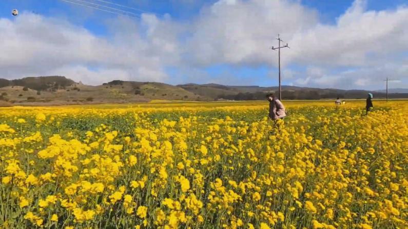 """【硅谷生活】湾区踏青哪里去?带你看号称""""靠海版呼伦贝尔""""的小草原"""