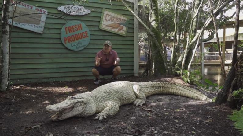 【佛州生活】徒手挑战上千斤的鳄鱼 秀秀我们佛州人的基本生存技能