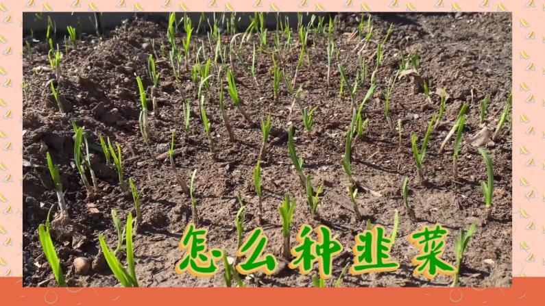 【范哥的美国生活】韭菜种植方法 一年四季吃不完!