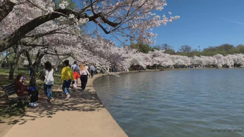 【新移民体验】华盛顿DC的樱花开啦!跟我去看看