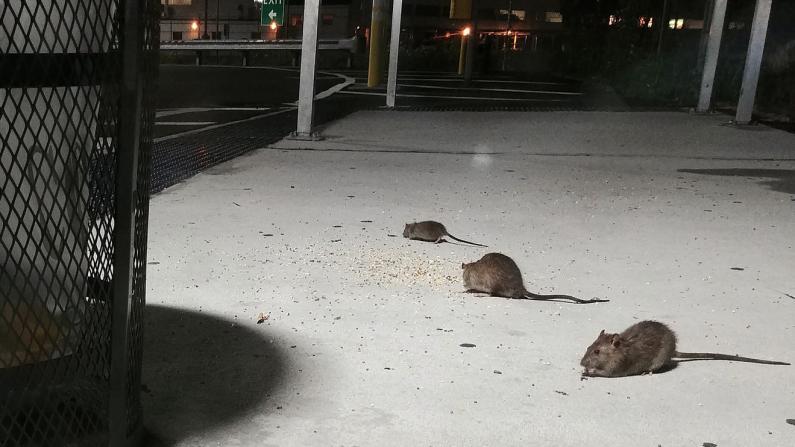 老鼠相关投诉电话激增80%,华人社区餐馆是否受鼠患困扰?