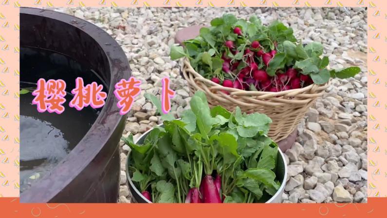 【德州田园生活】不到一个月就种好的樱桃萝卜,好吃到停不下来