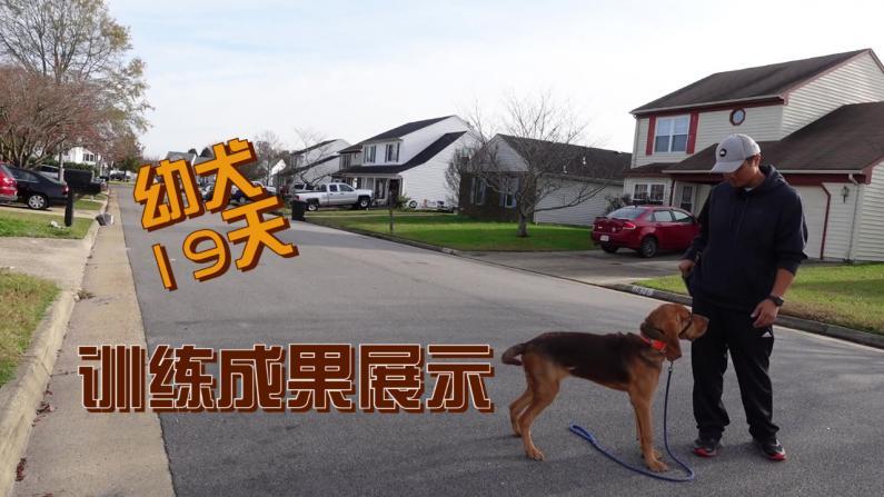 【林小Jim】幼犬训练19天 有哪些显著改变?