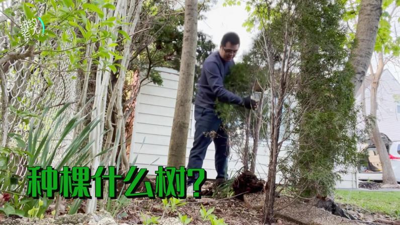【纽约老尤】后院植树,种什么树好呢?