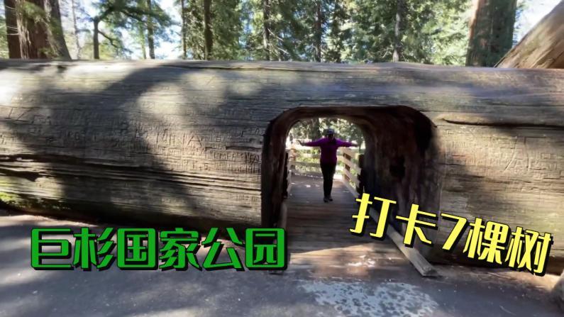 【美天一报】去巨杉国家公园 这7棵大树你也打卡了吗?