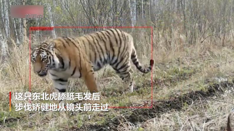 吉林天桥岭再次拍到野生东北虎 步伐矫健