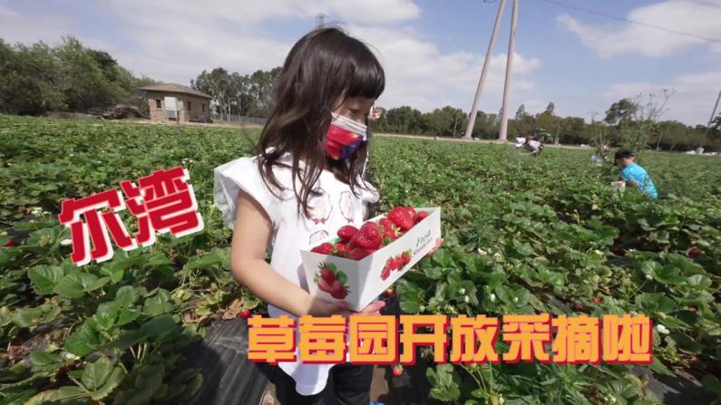 【安家美国·加州尔湾】尔湾草莓园开放采摘啦 最新鲜的有机草莓!