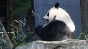 国家动物园重新迎客 参观大熊猫每天只有这些名额