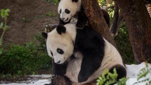 萌翻你!来自大洋彼岸熊猫母子的国庆祝福